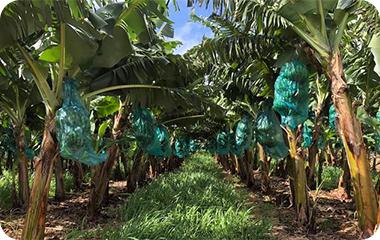 Durable ou bio, la banane française change de peau